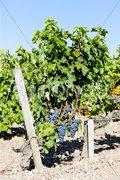 Blue grape in Bordeaux Region, Aquitaine, France Stock Photos