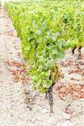 White grape in vineyard, Sauternes Region, Aquitaine, France Stock Photos