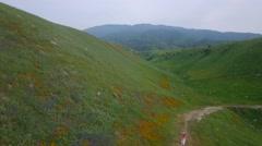 A woman walks through vast wildflower fields on a California hillside. Stock Footage