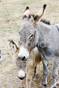 Donkeys, Navarre, Spain Stock Photos