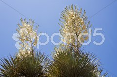 Two large cactus blossom against blue sky Stock Photos