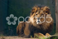 Portrait of a lion king Stock Photos
