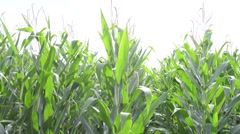 Pan Across Corn Stalks Stock Footage