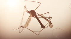 Dead crane fly trapped in spider net in the evening sunshine Stock Footage