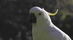 Sulphur crested Cockatoo eating Stock Footage