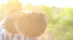Agriculturist and matured sunflowers Stock Footage