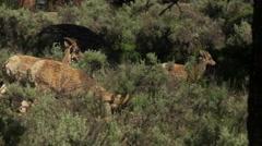 Small herd of Pronghorn walking through sagebrush Stock Footage