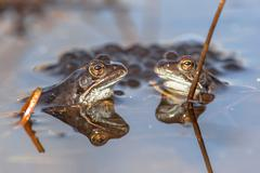 Two common frogs  with spawn Stock Photos