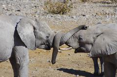 Wild animals of Africa: two young elephants playing Stock Photos