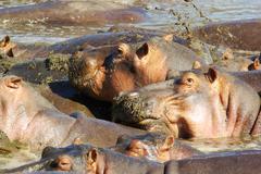 Wild animals of Africa: Hippos Stock Photos