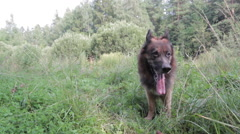 German Shepherd Dog Breathes Deeply With His Tongue Hanging Out Stock Footage