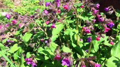 Beautiful lungwort springtime flowers with bees Stock Footage