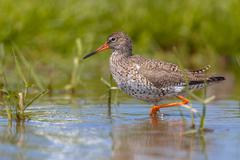 Wading Common Redshank bird Stock Photos