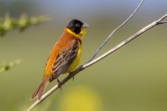 Singing Black headed Bunting bird Stock Photos