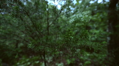 Handheld Wide Macro of Evergreen Leaves at Twilight Stock Footage