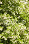False acacia tree (robinia pseudacacia) Stock Photos