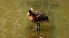Wandering Whistling Duck Cleans Himself - Dendrocygna arcuata. Stock Footage