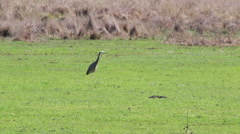 Australian Heron Walking Stock Footage