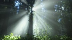 Redwood forest with fog and sun rays, Redwood National Park, CA Stock Footage