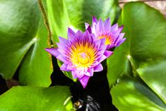 Beautiful lotus flower. Saturated colors and vibrant detail make this an almo Stock Photos