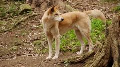 Dingo - Canis lupus dingo mid shot. Stock Footage