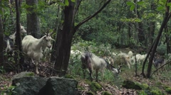 GOATS IN THE FOREST Stock Footage
