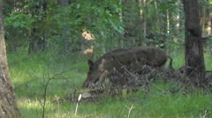 Amid Nature - Wild Sow, Ferral Hog Wonders in the Wood. Stock Footage