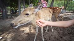 Little girl and her mother feeding deer in the park Stock Footage