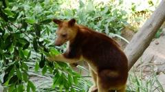 Tree Kangaroo - Dendrolagus Eating Stock Footage