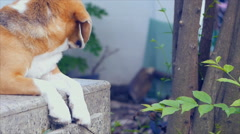 Adorable beagle laying on floor Stock Footage
