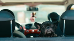 CU Funny dog french bulldog traveling on the back seat of a small car. 2K Stock Footage