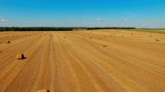 Flight over crop wheat rye field hay straw bales. Harvest farm aerial 4k video Stock Footage