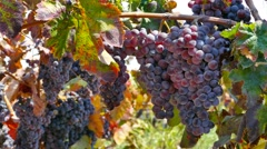 Red grape vines hanging in a Vineyard. Stock Footage