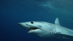 Mako Shark 4k Stock Footage