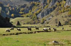 Flock of sheep grazing in a meadow at autumn Stock Photos