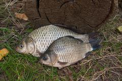 Freshwater fish just taken from the water. Crucian fish or Carassius on green Stock Photos