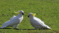 Two sulphur crested cockatoos eating grass Stock Footage