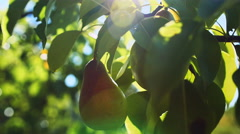 Pear hanging on the tree. Stock Footage