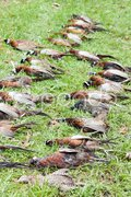 Excludes of caught pheasants Stock Photos