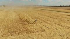 Stork bird walking harvested wheat rye field. Agriculture farm rural 4k video Stock Footage