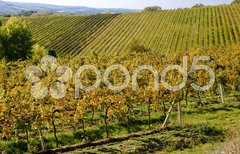 Vineyards, ZD Sedlec, Czech Republic Stock Photos