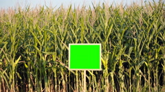 Growing corn in the field. Green Screen. Stock Footage
