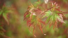 Autumn japanese maple leaves. Stock Footage