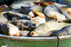 Fish in vat during harvesting pond Stock Photos