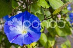 Heavenly Blue twining liana Stock Photos
