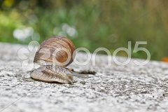 Grapevine snail Stock Photos
