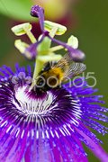 Passion flower with bumbl-bee- Passiflora macro Stock Photos
