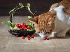 The cat eats wild strawberry Stock Photos