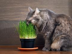 The cat is eating green grass - germinated oats in the pot Stock Photos