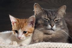 Big gray cat and a small white and red kitten lying together on a knitted rug Stock Photos